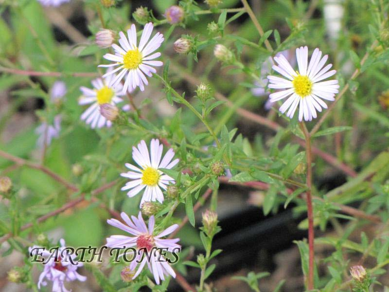 Earth tones native plants just another wordpress weblog it has small light purple daisy like flowers with pale yellow centers prefers moist soil grows well in meadows mightylinksfo Image collections