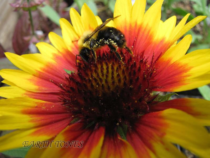 Earth tones native plants just another wordpress weblog blanket flower details blanket flower gaillardia aristata photo common name bottle gentian mightylinksfo Image collections