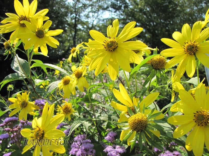 Earth tones native plants just another wordpress weblog perennial sunflower details perennial sunflower helianthus lemon queen photo mightylinksfo