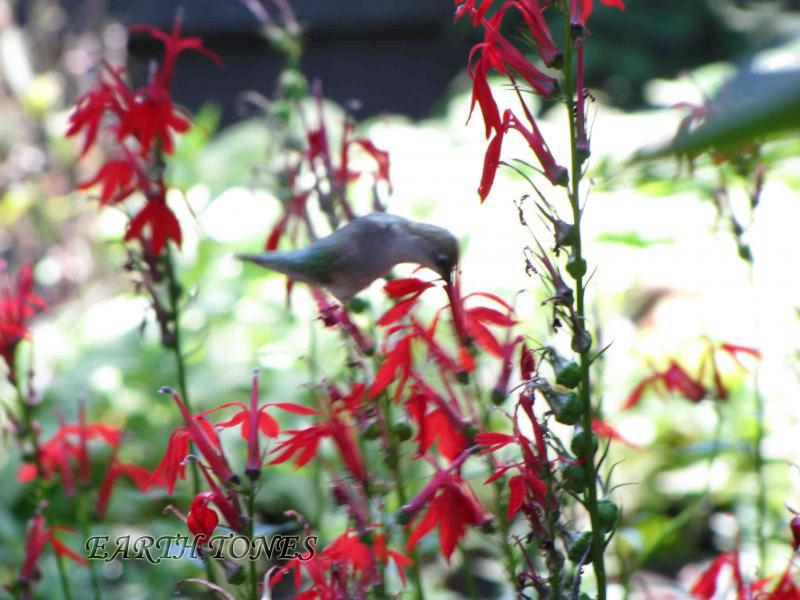 Cardinal Flower / Lobelia cardinalis Photo