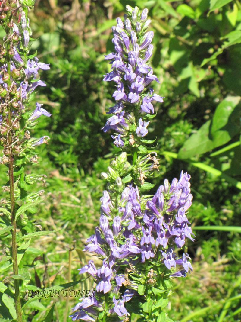 Great Blue Lobelia / Lobelia siphilitica  Photo