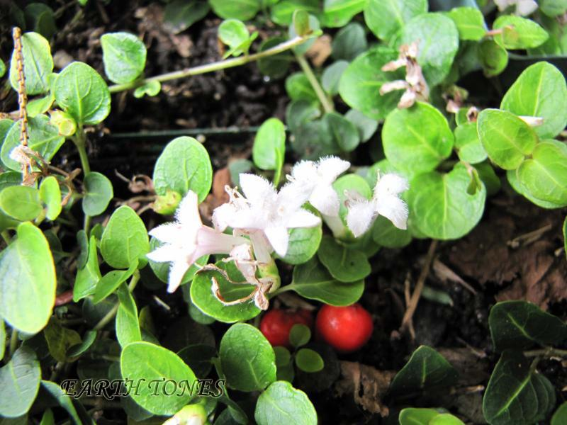 Partridgeberry / Mitchella repens Photo
