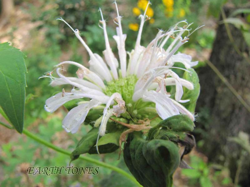 White Wild Bergamot Basil Balm / Monarda clinopodia Photo