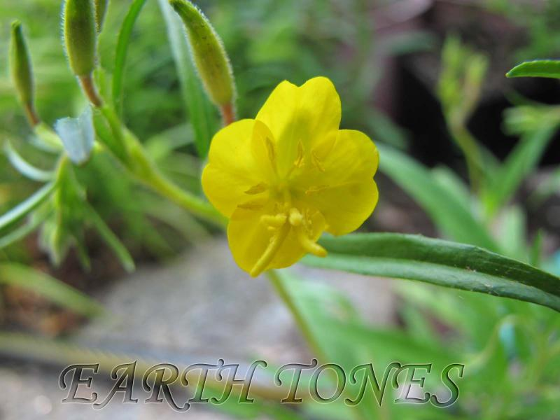 Earth tones native plants just another wordpress weblog botanical name oenothera perennis category perennials flower color yellow bloom time summer soil conditions well drained rich dry averageadaptable mightylinksfo