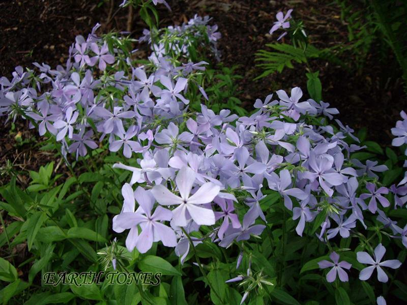 Earth tones native plants just another wordpress weblog for Perennial wood