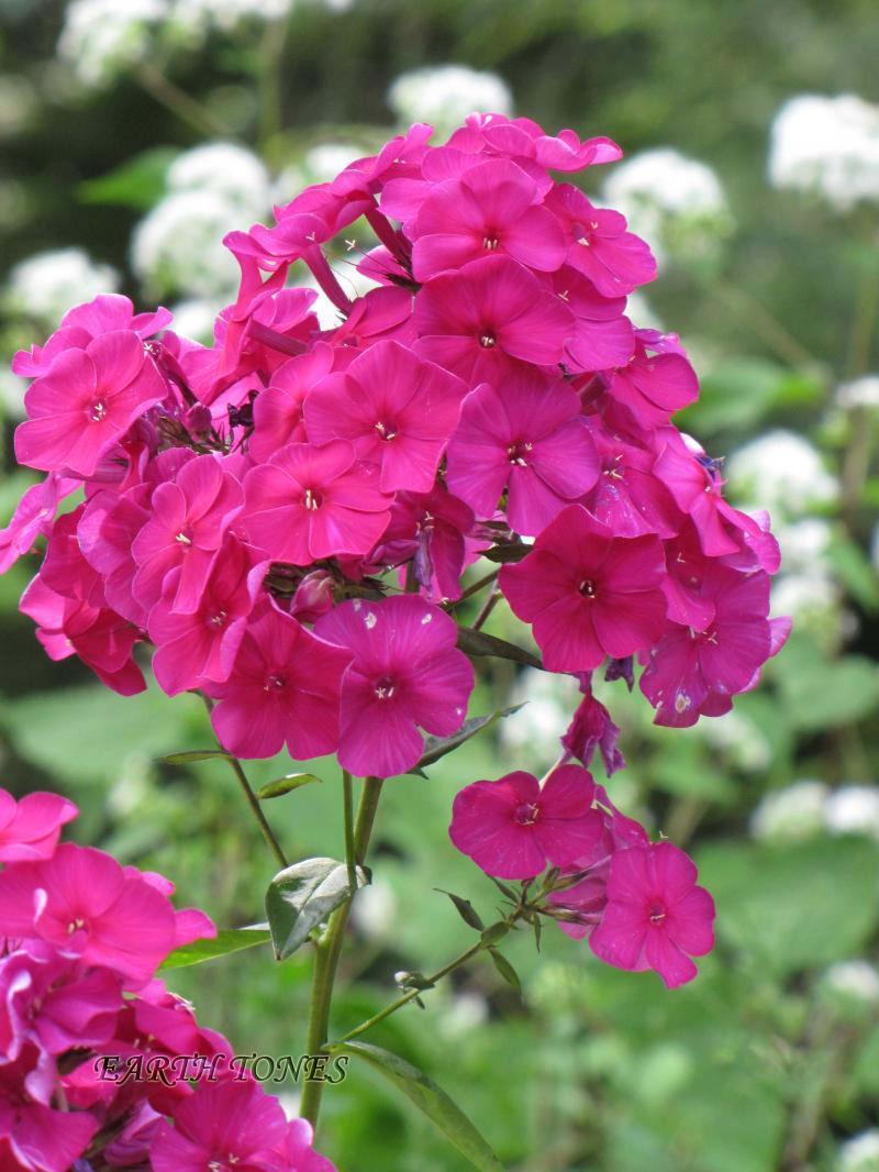 Garden Phlox Nicky Phlox Paniculata Nicky Perennials