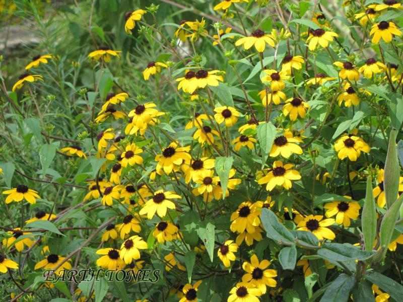 Earth tones native plants just another wordpress weblog brown eyed susan rudbeckia triloba mightylinksfo