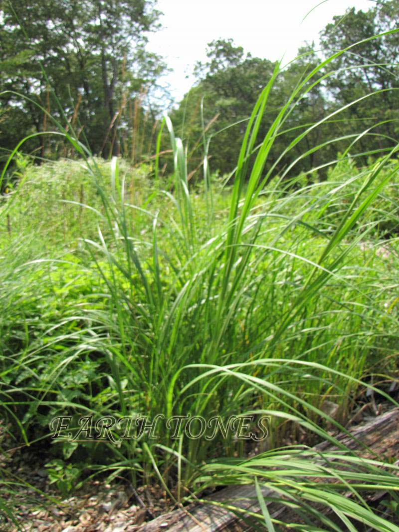 Prairie Cordgrass | Spartina pectinata | grasses
