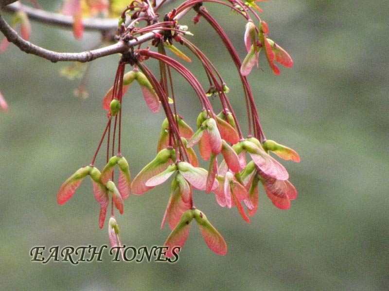 Red Maple / Acer rubrum Photo