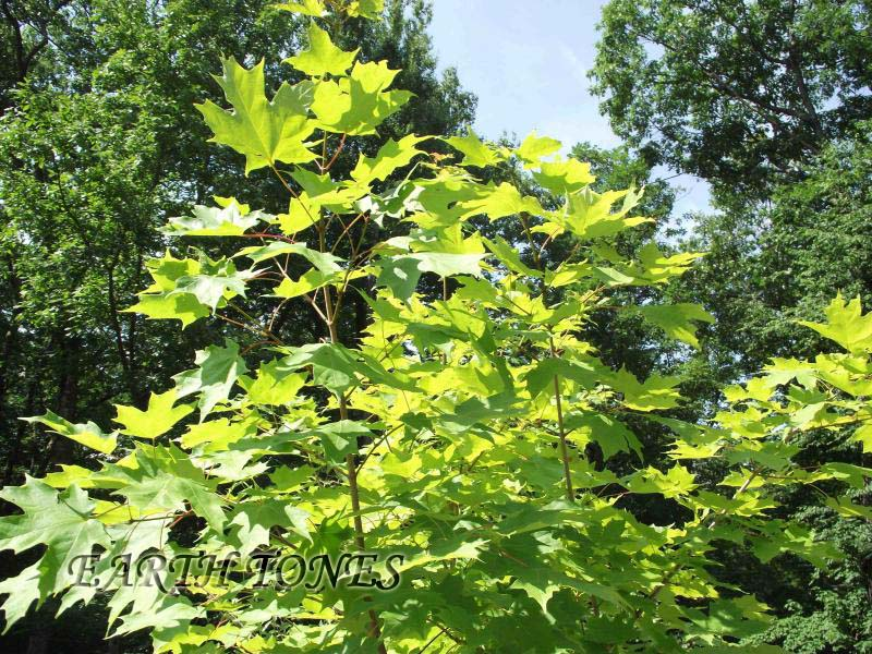 Sugar Maple / Acer saccharum Photo