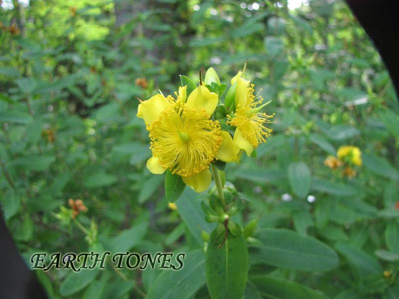 http://www.earthtonesnatives.com/plant_photos/1295_photo.jpg