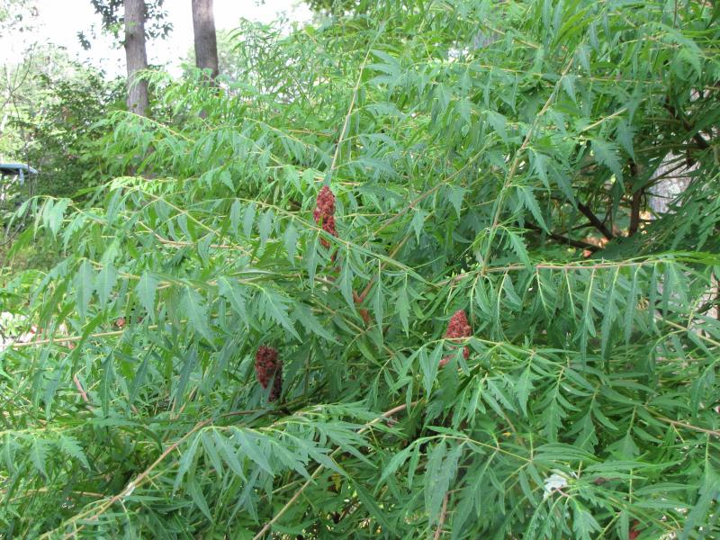 how to cut done sumac