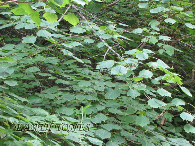 Mountain Maple / Acer spicatum Photo
