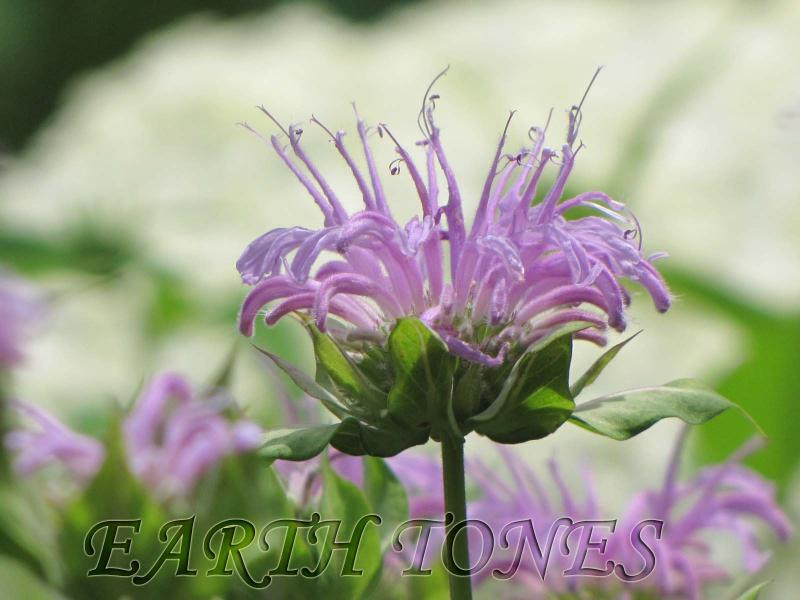 http://www.earthtonesnatives.com/plant_photos/1389_photo.jpg
