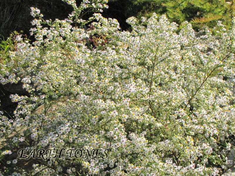 Earth tones native plants just another wordpress weblog smooth white oldfield aster symphyotrichum racemosum photo mightylinksfo
