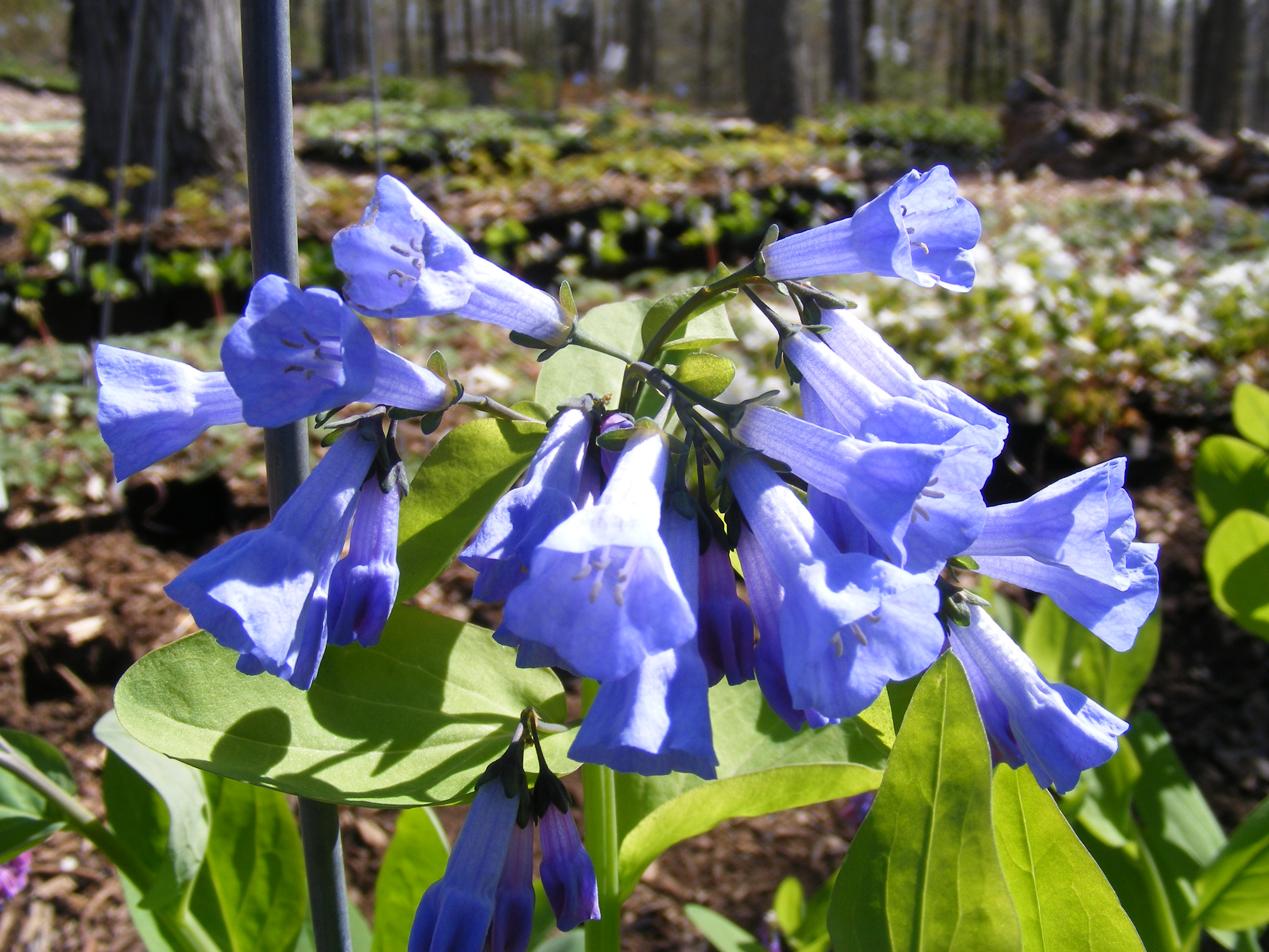 Eastern bluebell
